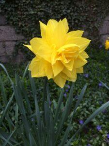 Eine blühende Osterglocke